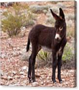 Burro Foal Canvas Print