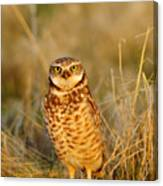 Burrowing Owl At Dawn Canvas Print