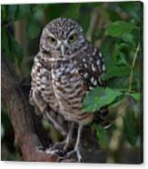 Burrowing Owl Color Version Canvas Print