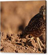 Burrowing Owl Looking Back Over Shoulder Canvas Print