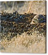 Burrowing Owl Peaking Outta The Hole  Canvas Print