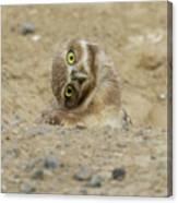 Burrowing Owl Tilted Head Canvas Print