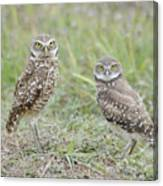 Burrowing Owls Nesting Canvas Print