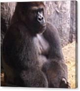 Busch Gorilla Canvas Print