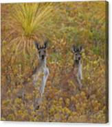 Bush Kangaroos Canvas Print
