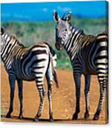 Bushnell's Zebras Canvas Print