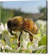 Busy Bee 6 Canvas Print