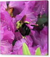 Busy Bee Collecting Pollen On Rhododendron  Canvas Print