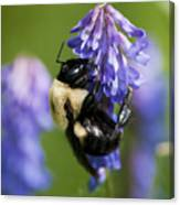 Busy Bumblebee.. Canvas Print