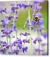 Busy In Lavender 3 Canvas Print
