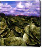 Butter Lettuce In Yuma Canvas Print