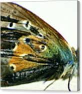 Butter-moth Canvas Print