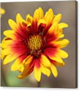 Butter Yellow And Crimson Red Coneflower Canvas Print