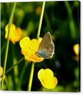 Buttercup Butterfly Canvas Print
