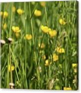 Buttercups And Green Grass At Moore State Park Canvas Print