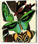 Butterflies, Plate-1 Canvas Print
