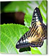 Butterfly 13a Canvas Print