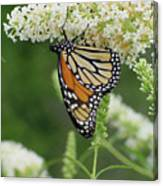 Butterfly 188 Canvas Print