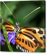 Butterfly 2 Eucides Isabella Canvas Print