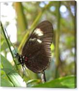 Butterfly-2 Canvas Print