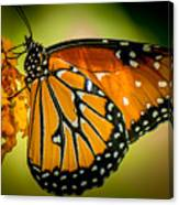 Butterfly 29 Canvas Print