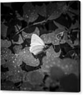 Butterfly 8 Canvas Print