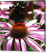 Butterfly And Pink Cone Flower Canvas Print