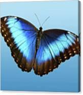 Blue Morpho Beauty Canvas Print