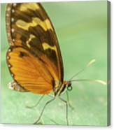 Butterfly Eueides Isabella Canvas Print