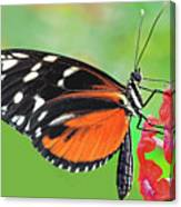 Butterfly  Golden Helicon Canvas Print