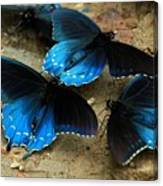 Butterfly Huddle At The Puddle Canvas Print