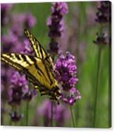 Butterfly In Lavender Canvas Print