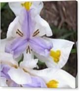 Butterfly Iris Canvas Print