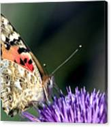 butterfly on a Silybum marianum I Canvas Print