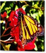 Butterfly On Bougainvillea Canvas Print