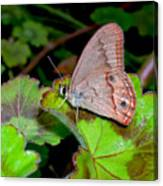 Butterfly On Geranium Leaf Canvas Print