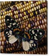Butterfly On Indian Corn Canvas Print