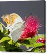 Butterfly On Magenta Flower Canvas Print