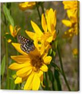 Butterfly On Mule's Ear Canvas Print