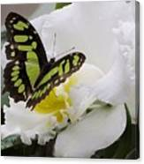 Butterfly On Orchid Canvas Print