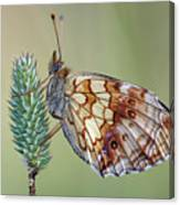 Butterfly On The Grass Canvas Print
