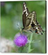 Butterfly On Thistle Flower Canvas Print