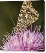 Butterfly On Thistle Canvas Print