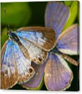 Butterfly Pair Canvas Print