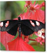 Butterfly Blush Canvas Print