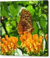 Butterfly Weed Fritillary Canvas Print