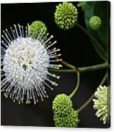 Buttonbush Flowers Canvas Print