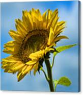 Buttonwood Sunflower 2 Canvas Print