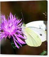 Cabbage Butterflies On Spotted Knapweed Canvas Print
