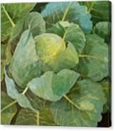 Cabbage Canvas Print